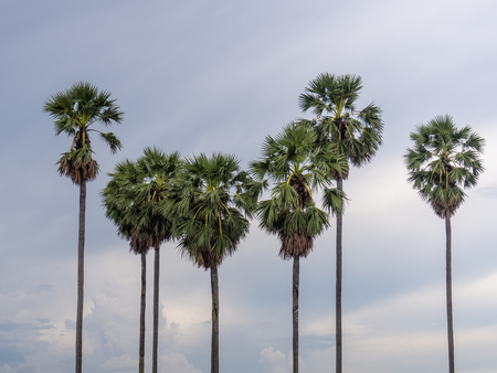 sugar palm: sugar palm in Thailand.