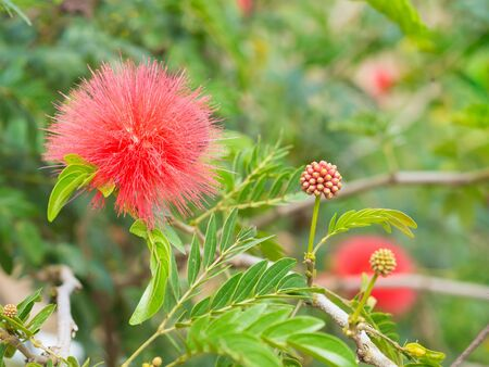 Red Flower. beautiful Flower of Thailand.