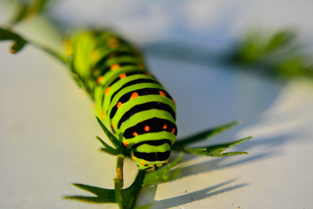 oruga: Green caterpillar