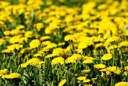field of the yellow flowers sun grass