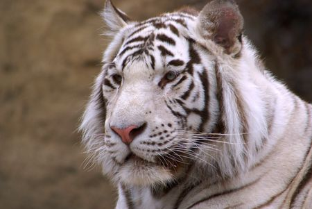 bengal tiger Stock Photo - 1222391