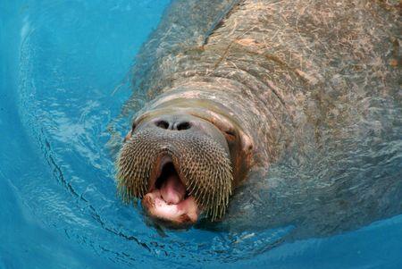 walrus in water swimming mammal