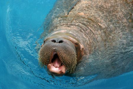 walrus in water swimming mammal