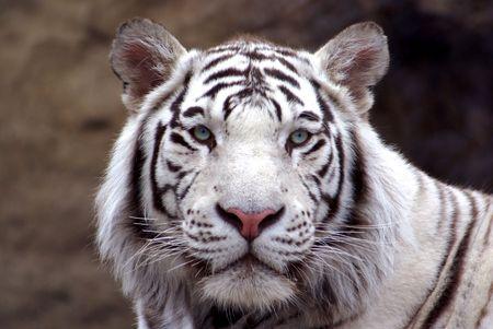 roaring tiger: bengal tiger  Stock Photo