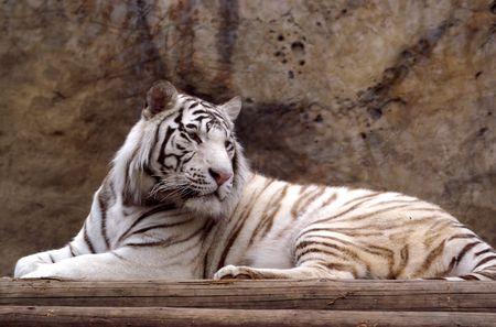 bengal tiger Stock Photo - 1289088