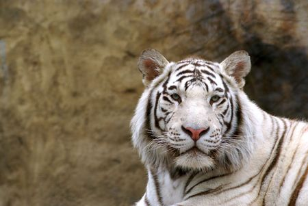 Un retrato del tigre de Bengala  Foto de archivo - 1289090