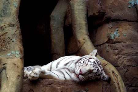 A portrait of the bengal tiger