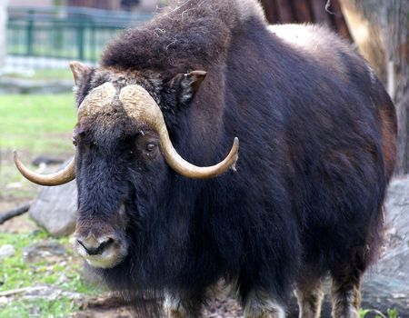 portrait of the bison bull