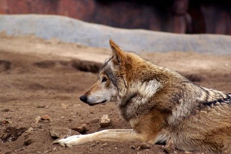 portrait of the gray wolf