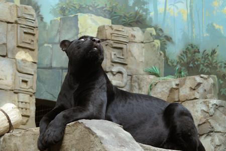 A portrait of the big black cat