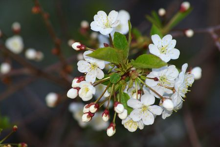 blossom cherry tree in the spring on broun bfanch Stock Photo