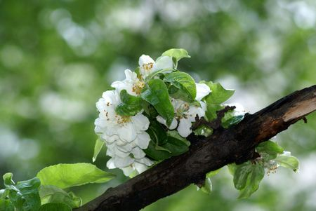 blossom aple tree in the spring on broun bfanch Stock Photo