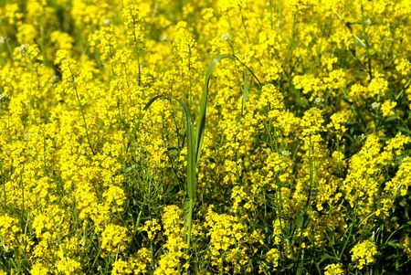 field of the yellow flowers sun grass Stock Photo - 1876155