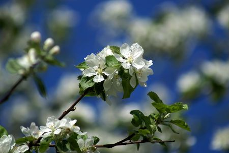 blossom aple tree in the spring on blue sky                    photo