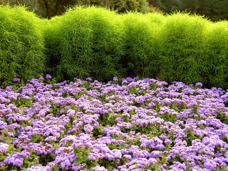 field of the fiolet flowers green grass Stock Photo