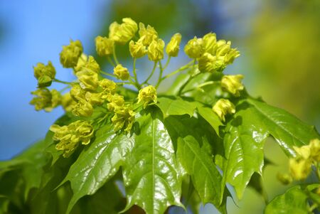 green leaves in the spring on blue sky