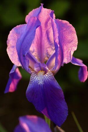 iris flower fiolet on the fone green grass            Stock Photo