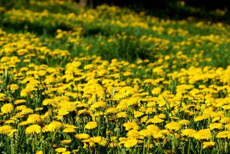 field of the yellow flowers sun grass Stock Photo