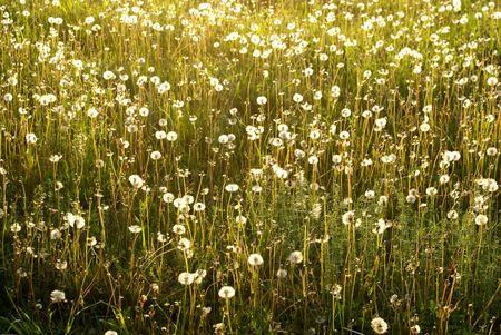 field of the  flowers sun grass