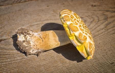 cep: Mushroom Boletus over Wooden Background. Autumn Cep Mushrooms. Porcini Picking Stock Photo