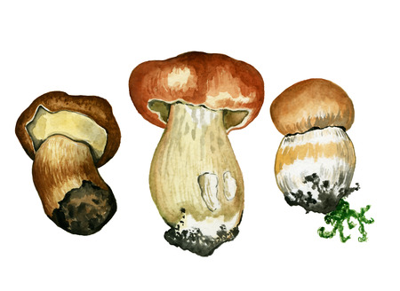 cep: Wild mushrooms. Hand drawn watercolor painting isolated over white background. Food Clipart illustration. boletus. porcini