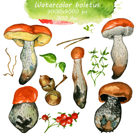 bolete: Wild mushrooms. Hand drawn watercolor painting isolated over white background. Food Clipart illustration. boletus. porcini