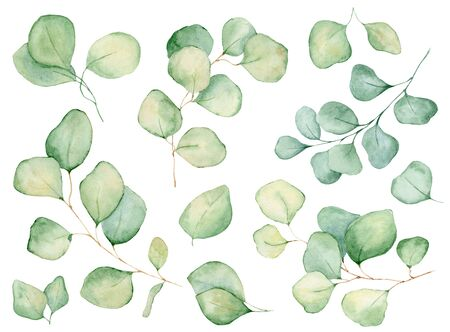 Watercolor eucalyptus leaves hand drawn illustration isolated on the white background