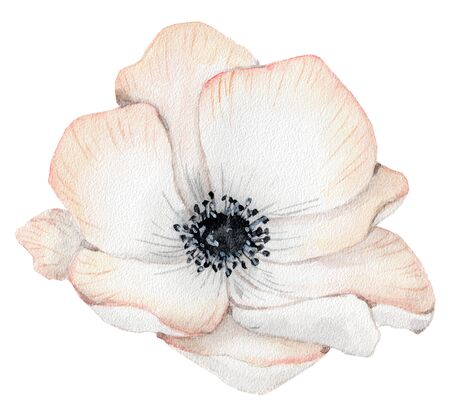 Watercolor anemone rose flower hand drawn illustration isolated on the white background Stockfoto