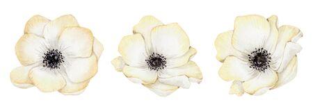 Watercolor white anemone flowers set  Hand drawn illustration Stockfoto