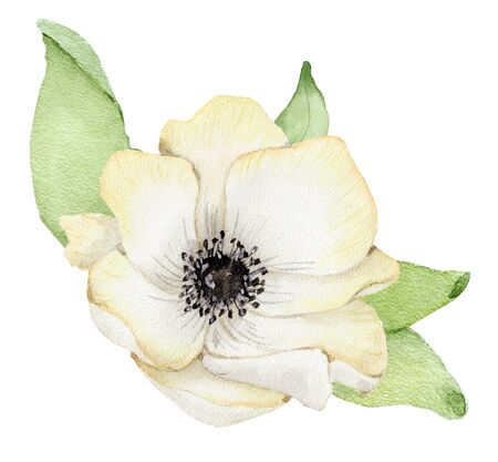 Watercolor white anemone flower with green leaves. Hand drawn illustration Stockfoto