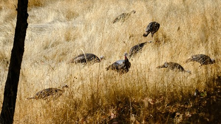 A group of a wild turkeys hiding in the grass, Meleagris gallopavo
