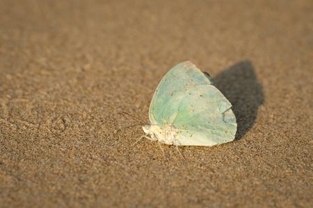 Mimetic butterfly laying on the sand (Gokarna, Karnataka, India)