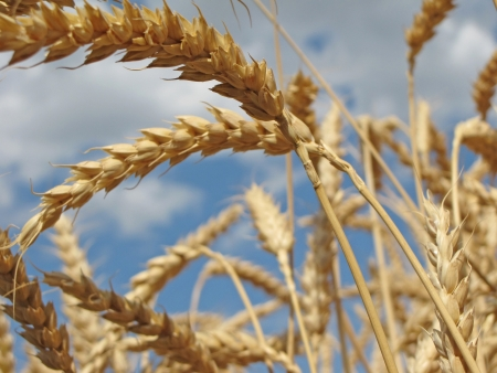Wheat close-up photo