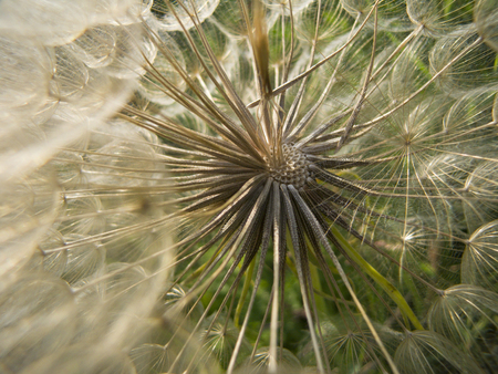 Inside a dandelion photo