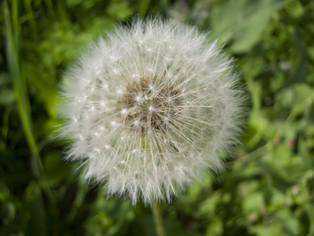 Happy Dandelion photo