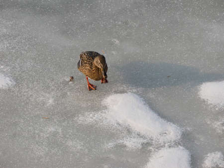 Ducks in winter time - walking on the ice photo