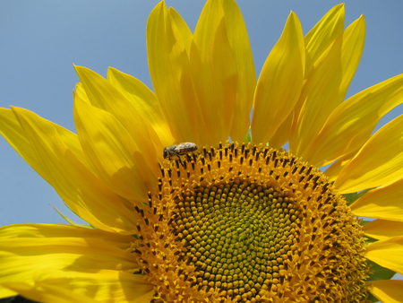 Colors of the summer - beautiful sunflower and the bee photo