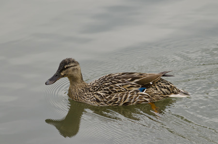 freshwater bird: Beautiful Duck swimming and resting in the lake Stock Photo