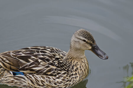 Beautiful Duck swimming and resting in the lake photo