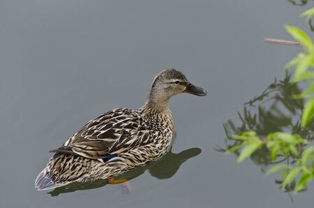 webbed foot: Beautiful Duck swimming and resting in the lake Stock Photo