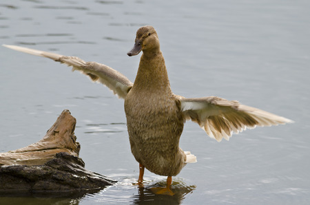 webbed foot: Beautiful Duck sitting near the pond Stock Photo
