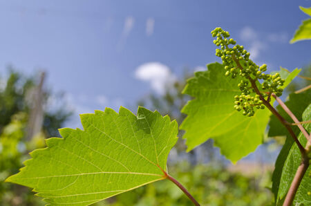 Growing bio grapes in the northern Bulgaria in the summer photo