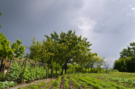 truck crops: Growing bio vegetables in the northern Bulgaria in the summer Stock Photo