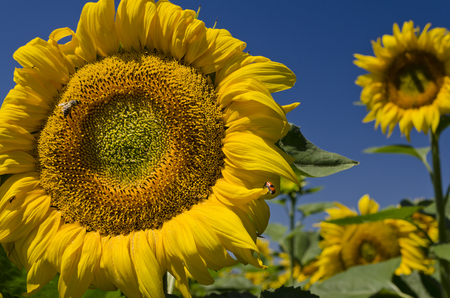 Colors of the summer - beautiful sunflowers and the bees photo