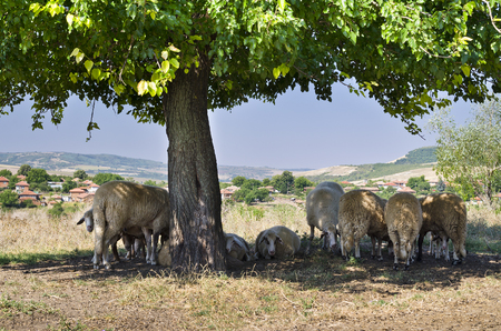 sheltering: Bulgarian sheep sheltering in the shade under the branches of a tree