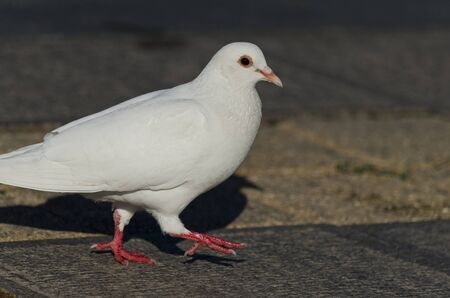 turtles love: Beautiful view of a white pigeon walking on the ground Stock Photo