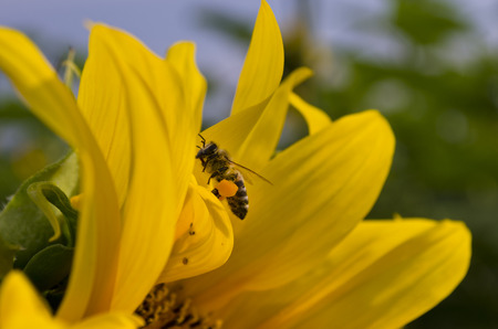 pollinators: Honey bee foraging for nectar and pollen on a yellow sunflower