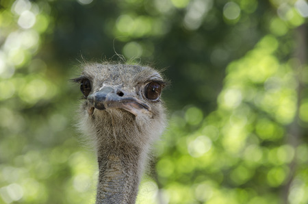 Close up of ostrich in the farm