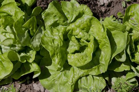 Growing bio lettuce in the northern Bulgaria in the summer Zdjęcie Seryjne - 121355320