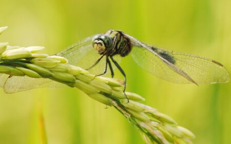 palmy: Dragonfly on Rice Plant
